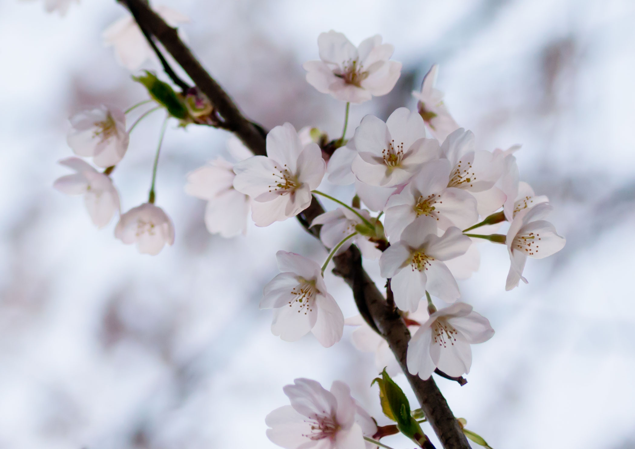 「桜」曽根沼公園